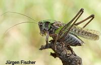 Singschrecken - Unterfamilie Beißschrecken