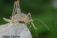 Buckelschrecken - Rhaphidophoridae