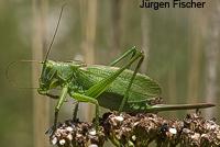 Singschrecken - Unterfamilie Heupferde - Tettigoniinae