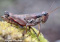 Feldheuschrecken- Unterfamilie Knarrschrecken (Catantopinae)
