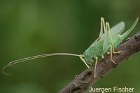 Eichenschrecken - Meconematidae