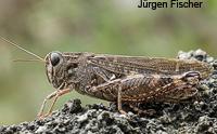 Feldheuschrecken - Unterfamilie Schönschrecken (Calliptaminae)