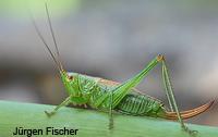Schwertschrecken - Conocephalidae=