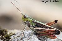 Feldheuschrecken - Unterfamilie Grashüpfer (Gomphocerinae)