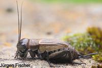 Echte Grillen - Gryllidae