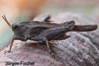 Dornschrecken -Tetrigidae